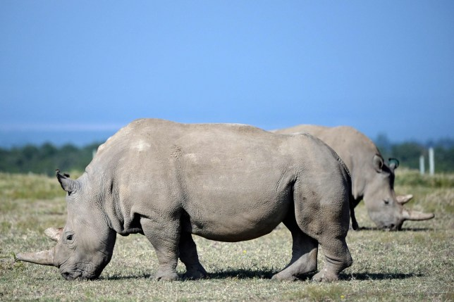 Newly created embryo nourishes hope for the survival of the northern white rhino
